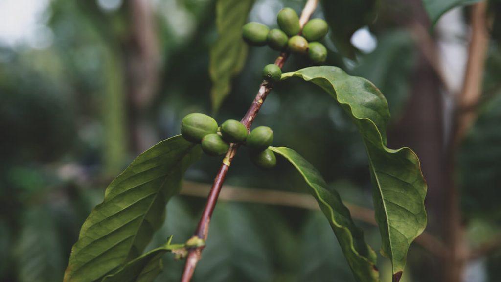 Kaffeepflanze mit unreifen Kirschen