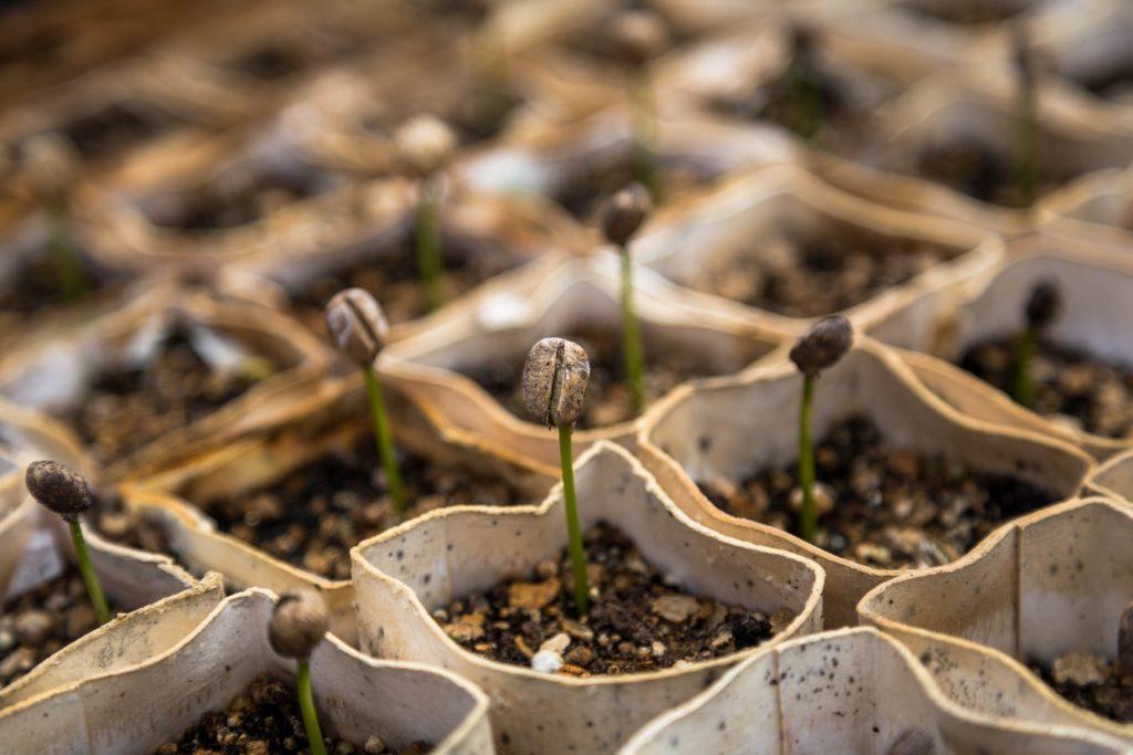 Gekeimte Kaffeepflanzen. Neues Koffein wächst heran