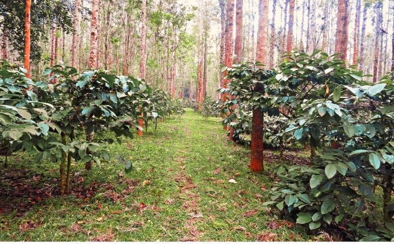 Kaffeeplantage Robusta