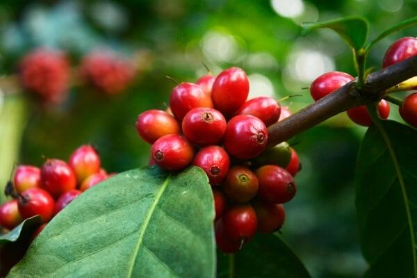Rote Kaffeekirschen am Zweig einer Kaffeepflanze